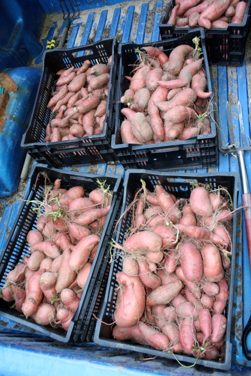 Sweet potatoes coming in from the field.