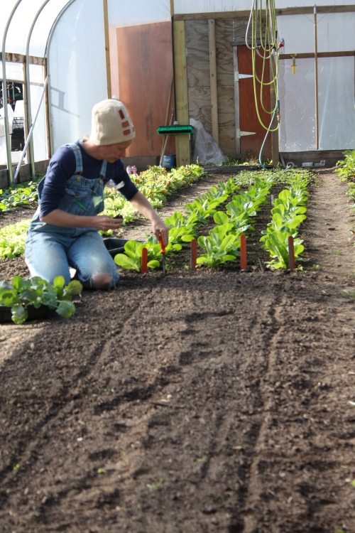 Planting long rows of Arcadia Broccoli in the hoophouse.