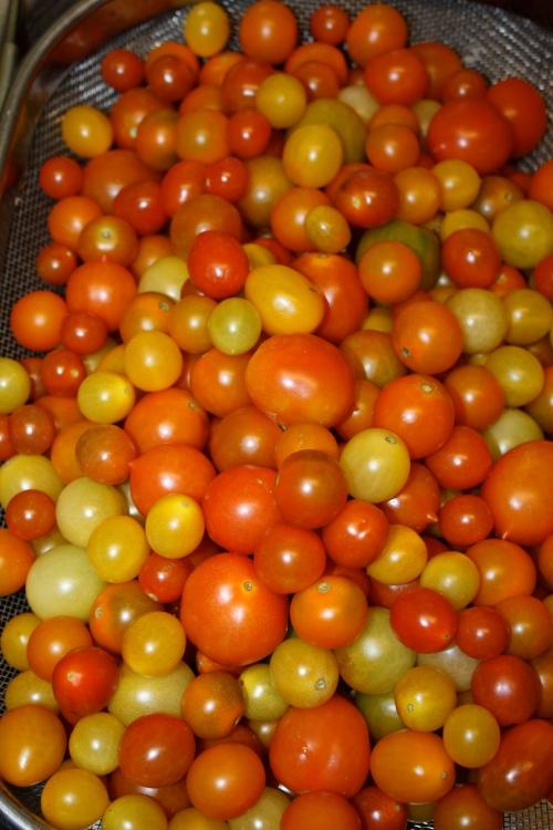 The last cherry tomato harvest.