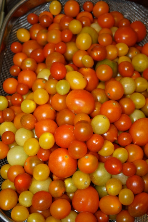 The last cherry tomato harvest.