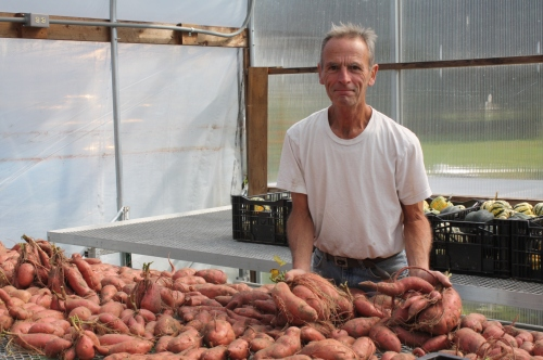 The sweet potato harvest curing in the green house.