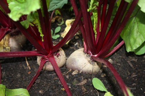 Beets in the hoophouse.