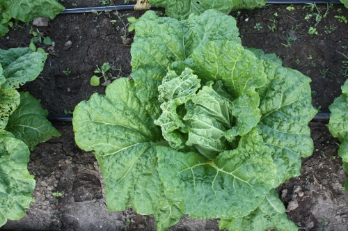 Napa Cabbage at harvest.