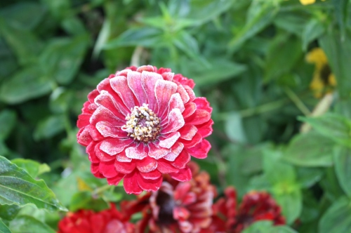 Frost kissed zinnias Saturday morning.