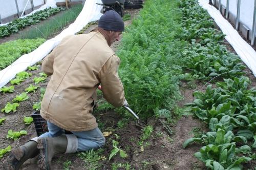Scott hand digging the carrots.