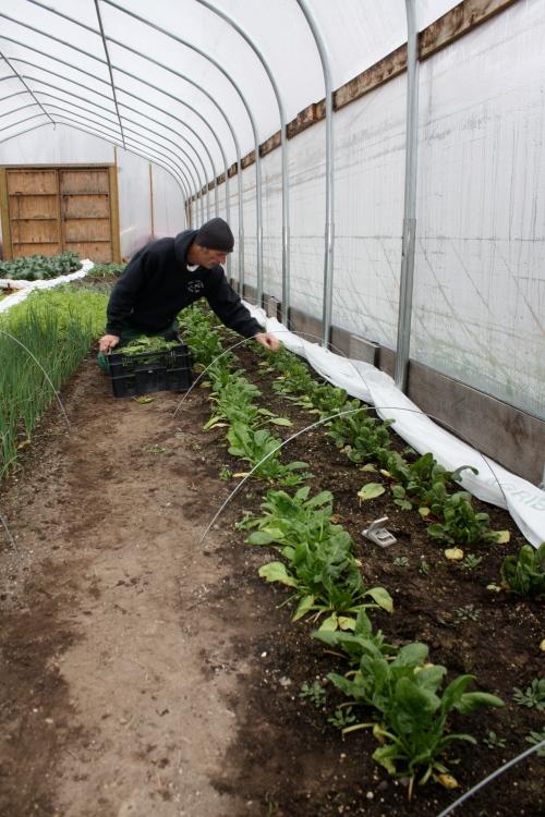 Scott harvesting Red Kitten Spinach.