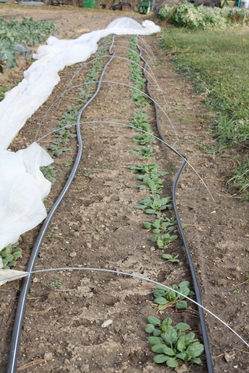 Winter over spinach well established out in the garden all set for Spring.
