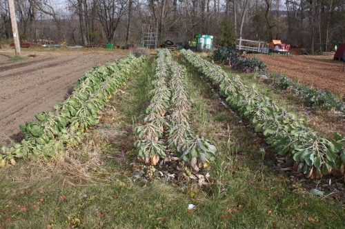 The Brussels Sprout Patch.  We will see if we can get 1 more harvest out of it this year.