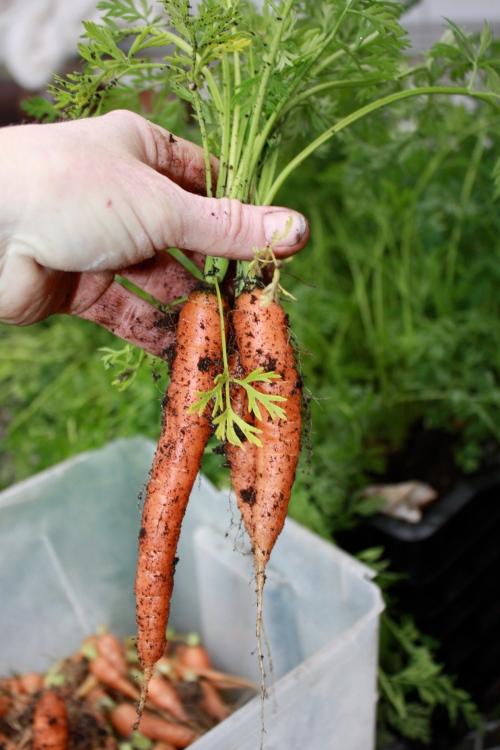 Baby Carrot Harvest.