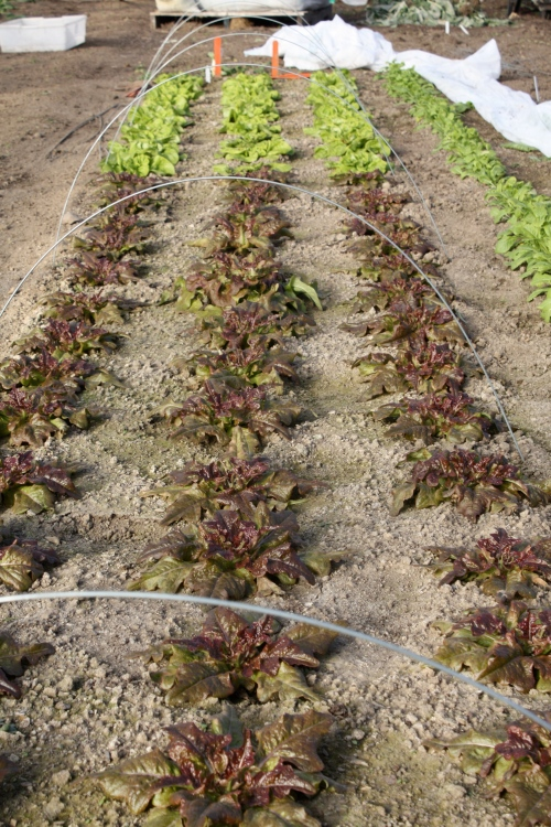 Lettuce in the hoophouse at harvest on December 6th.  WOW!