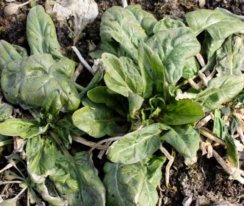 Spinach coming back to life.....