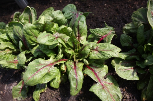 That pretty Red Kitten Spinach.  A favorite!