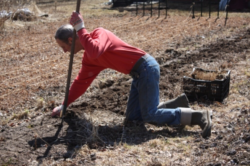 "Scott pulling out the brussels sprouts ""stumps"" from last seasons late harvest."