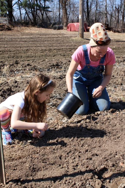 Pea planting.