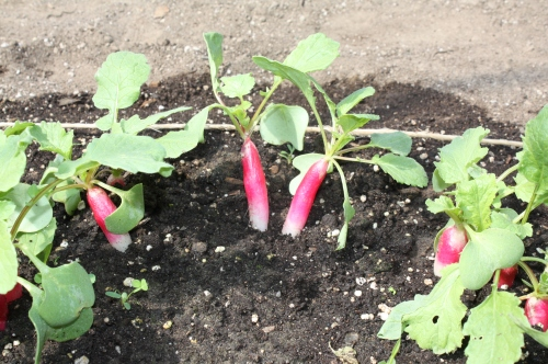 Tender French Breakfast radishes ready for harvest.