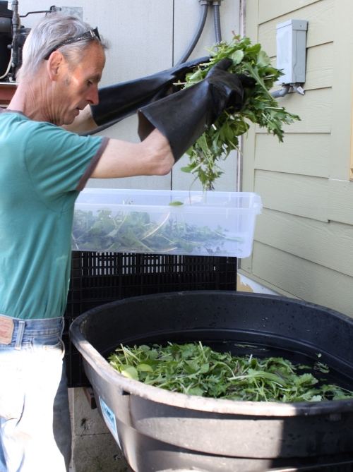 Scott double rinsing the Asian Greens at the washing station.
