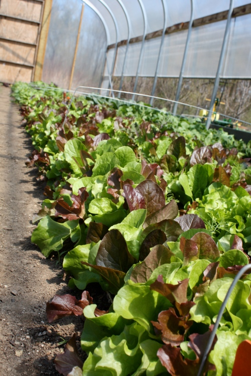 Leaf Lettuce crop ready to be harvested.