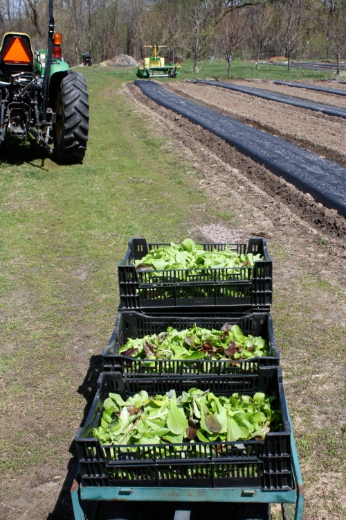 Leaf lettuce harvest ready to be transported to the washing station.