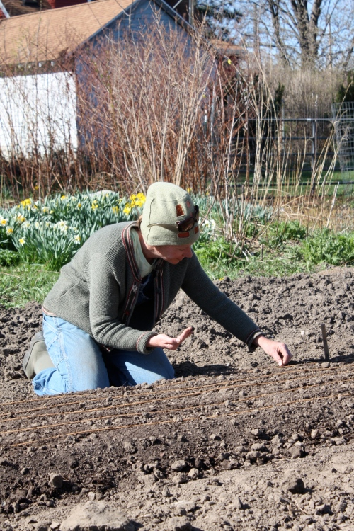Planting the carrots.