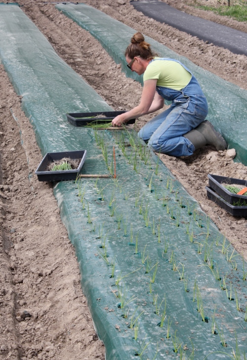A close up of onion planting.