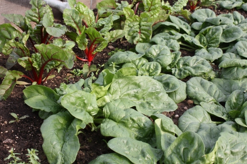 Another bed of Spring planted spinach with pretty Swiss Chard in the background.