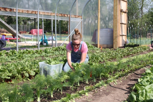 Harvesting the leaf lettuce.  Next week's fennel in the forground.