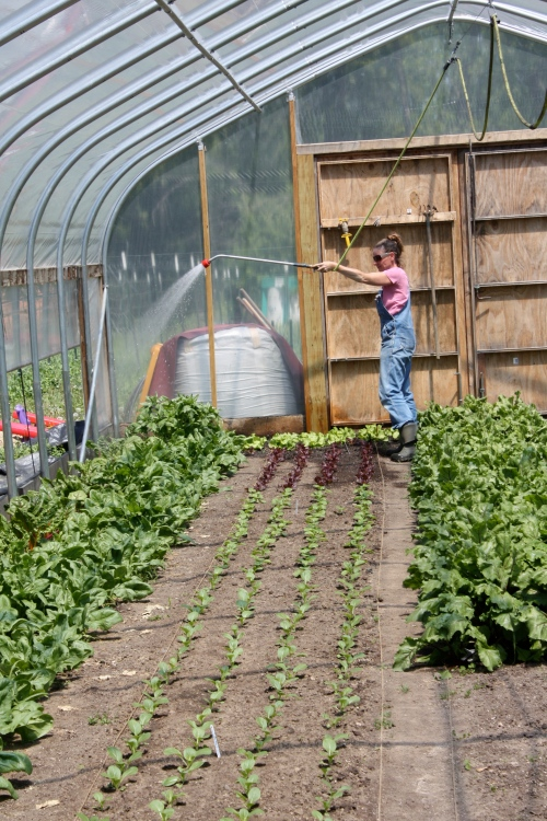 We have to water the hoop house 2 times a day on sunny days.....here I am watering the spinach the day before harvest.