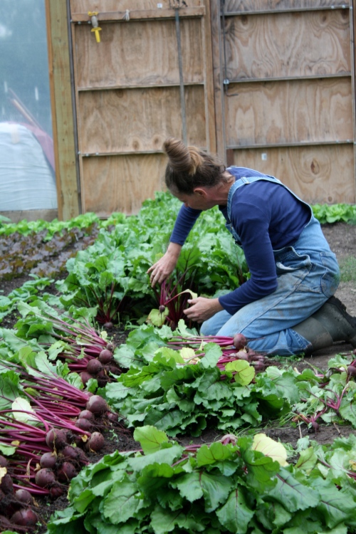 Harvesting beets.