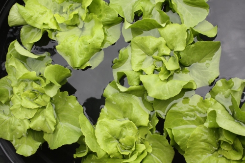 Lettuce cooling in the wash tank.