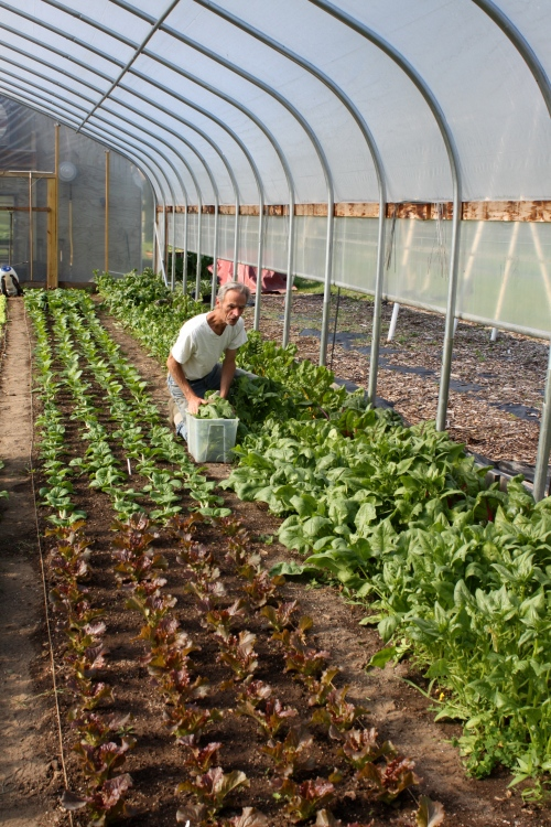 Scott harvesting the spinach in the hoop house.