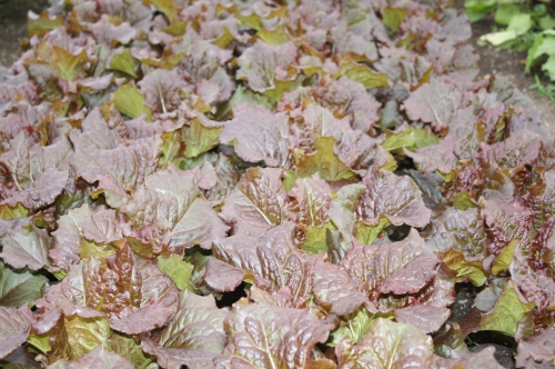Head lettuce at harvest.