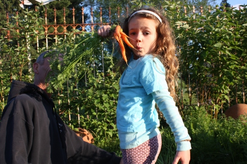 "Maeve ""helping"" with the carrot harvest."