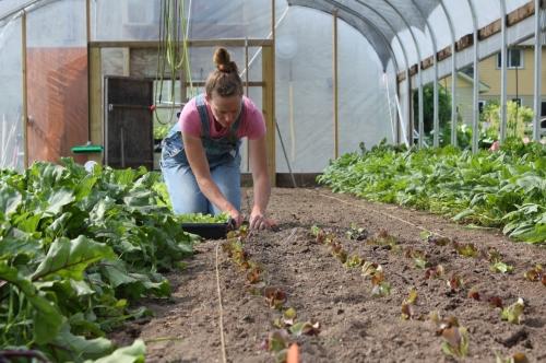 Lettuce transplanting.