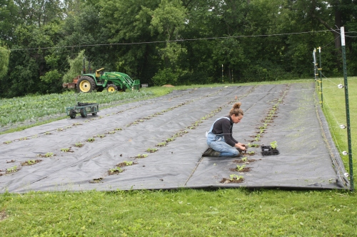 Finishing up the melon patch.
