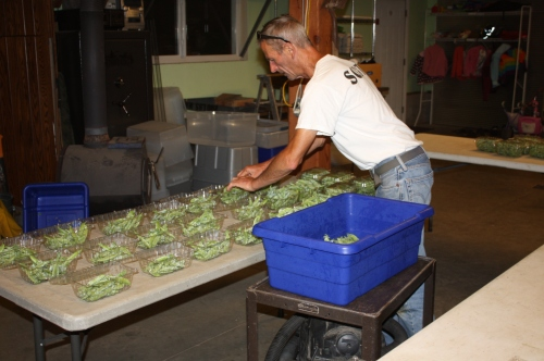 Portioning the Peas for this weeks share.