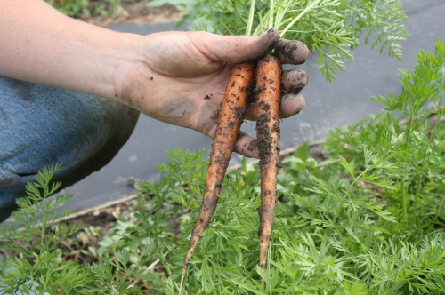 The start of the summer carrot harvest.