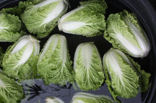 Chinese Cabbage soaking in the wash tank.