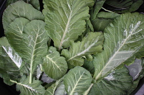 Collard greens in the wash tank.  The water pools on the leaves and looks like silver.