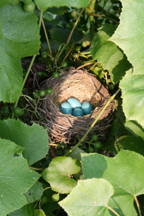 Robin's nest in the grape arbor....beautiful.