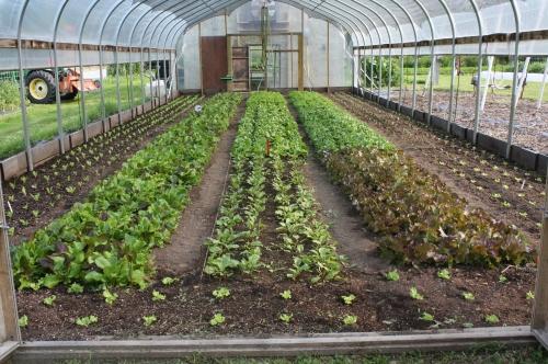 Lettuce growing in the hoop house.