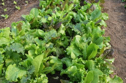Leaf lettuce at harvest.