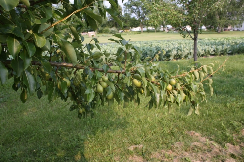 Another Pear tree.