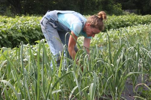 Leek Harvest.  The first of  3 plantings.