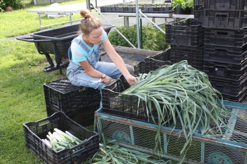 Field cleaning the leeks before washing.