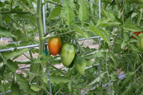 Paste tomatoes finally showing some color.