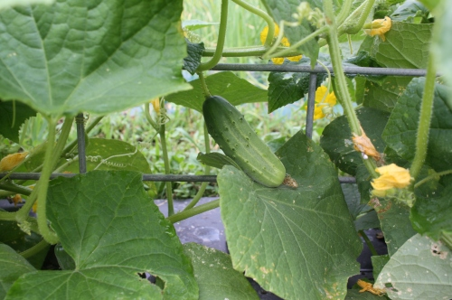 Cucumber on the vine.