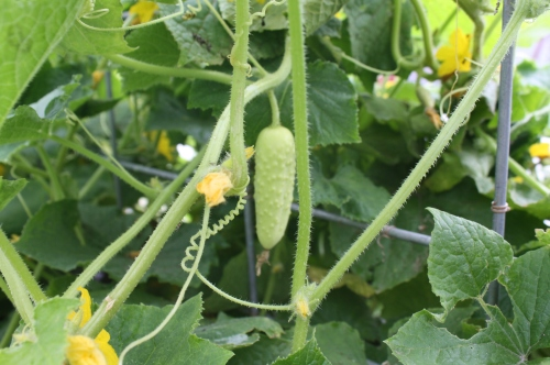 The white salt and pepper cucumber on the vine.