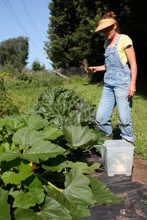 Picking Zucchini.
