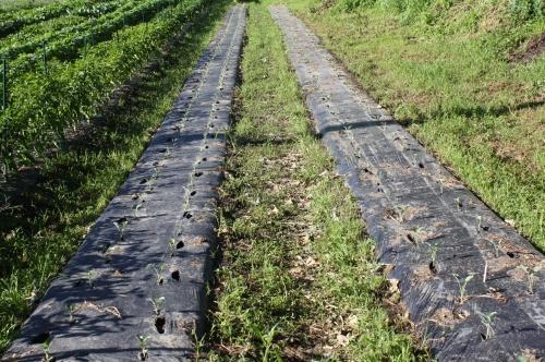 Long rows of transplanted Fall Brocoli.