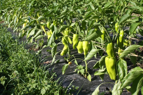 Peppers in the garden.